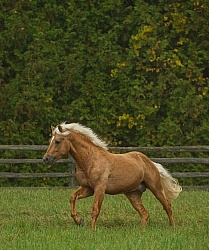 Connemara Stallion Free Running, Century Hill s Gold Not Silver