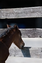 Foal Chewing Wood Fence