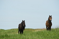 Sable Island Sable Island Horses in the Grass