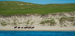 Sable Island Horse Herd on Beach