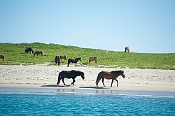 Sable Island Horses on Beach