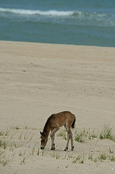 Sable Island Foal on the Beach