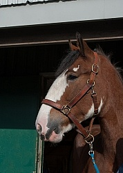 Clydesdale Portrait