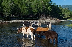 Cows herded over the river