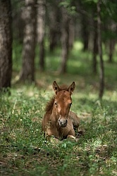 Mongolian Foal in the Woods