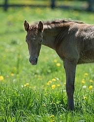 Rocly Mountain Foal Bonnie View Farms
