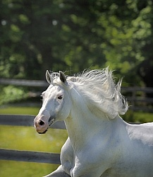 Lusitano Stallion Mane Care
