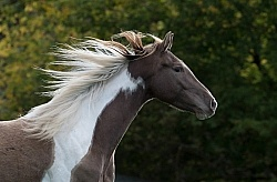 Spotted Saddle Horse Portrait Bonnie View Farms Long Mane