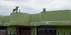 Roof Dogs in Aloag on the Way to Bomboli