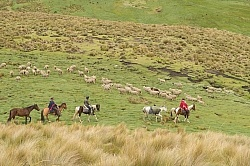 Riding past sheep herds in the High Andes