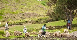 A family herds their sheep in Ecuador