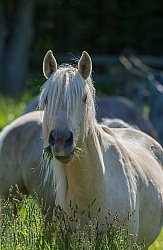 Rocky Mountain Horse Portrait, Bonnie View Farms