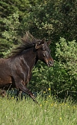 Rocky Mountain Horse Free Running