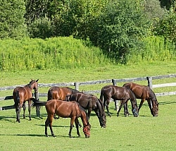 Yearlings Grazing