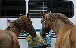 Eating Hay at the Trailer