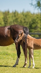 Rocky Mountain Foal