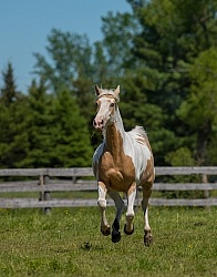 Spotted Saddle Horse Free Running