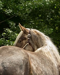 Rocky Mountain Horse Portrait, Bonnie View Farm