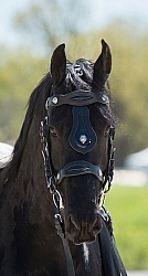 Friesian Portrait Friesian Portrait
