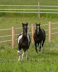 Tennessee Walker Free Running