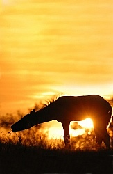 Foal at Sunset
