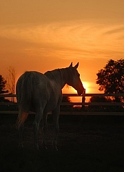 Thoroughbred at Sunset