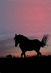 Nokota Horse at Sunset