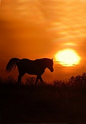 Nokoat Horse at Sunset