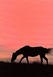 Nokota Horse Silhouette Sunset