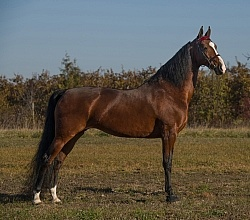 American Saddlebred Conformation