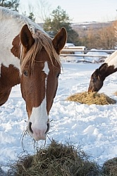 Horse Eating Hay in Winter