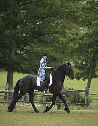 Friesian Ridden Saddle Seat