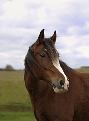 Clydesdale Cross Portrait