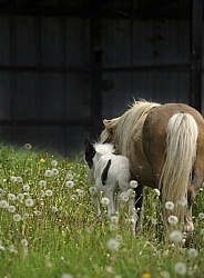 Miniature Horse Mare and Foal