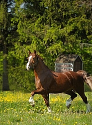 Welsh Cob Free Running