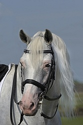 Lusitano Stallion Portrait