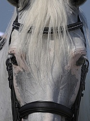 Lusitano Close Up