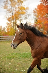Welsh Cob Free Running in Fall