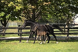 Hannoverian Mare and Foal