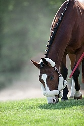 Hand Grazing at Horse Show