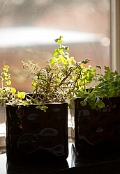Growing Herbs in Containers