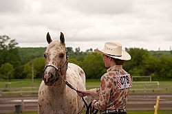 Appaloosa Showing Haslter
