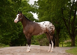 Appaloosa Conformation