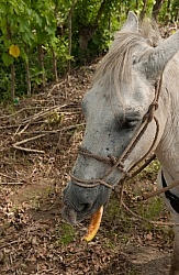 Alis Horse eating Cantaloupe on the Trail