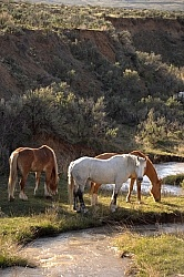 Grazing Horses by River