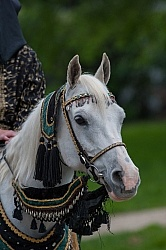Rolex Dressage Arabian