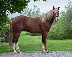 Peruvian Horse Conformation Beaconhurst Stables