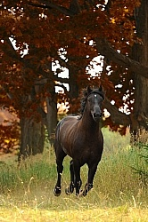 Curly Horse Stallion Free Running