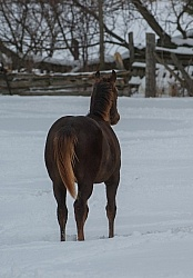 Quarter Horse Filly in Winter