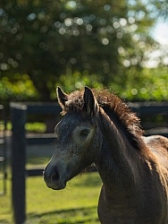 Connemara Filly Portrait ,Century Hill s Pearl